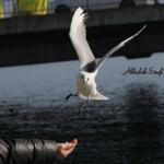 Gull - Hand picking