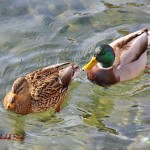 Mallard - Female and Male