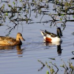 Northern Shoveler - Male and Female