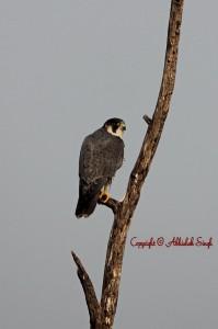 Pregrine Falcon
